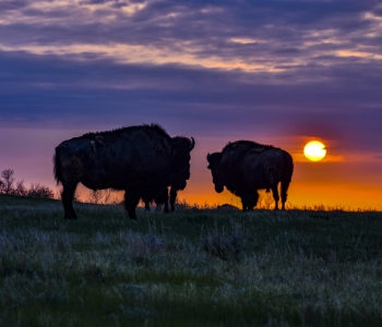Buffalo grazing at Sunset